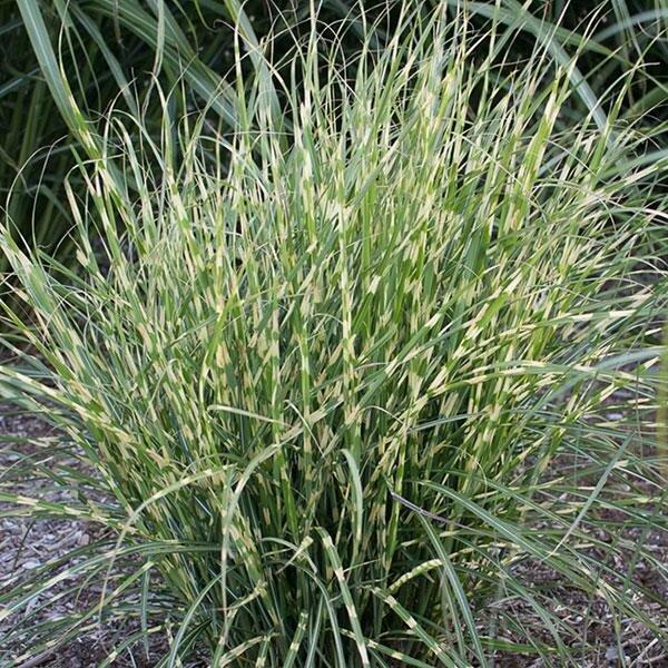 Grass, Maiden, Bandwidth™