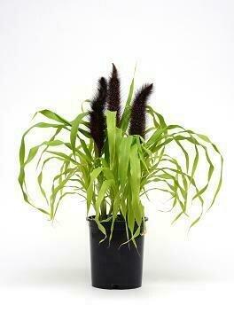 Grass, Millet, 'Jade Princess'