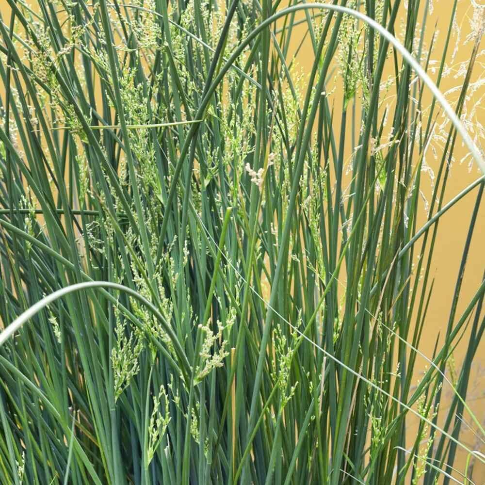 Grass, Rush, 'Javelin'