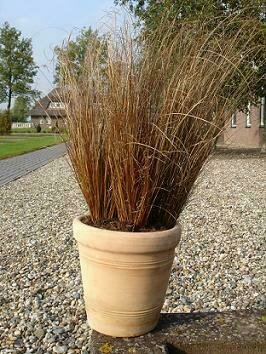 Grass, Sedge, ColorGrass® Red Rooster