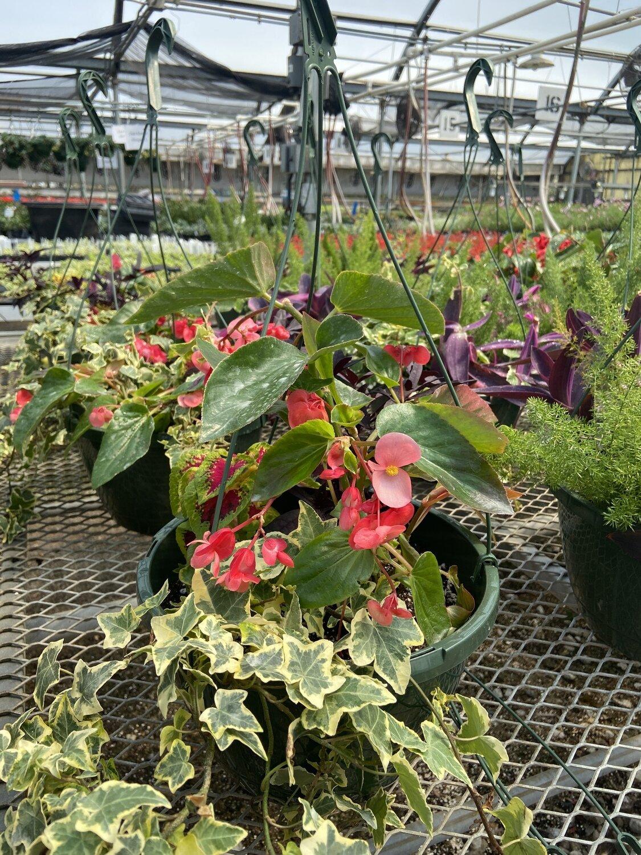 Hanging Basket, Shade: Pink Dragon Wing Begonia, Wizard Rose Coleus, Lacy Black Sweet Potato Vine, Cream-edge Ivy