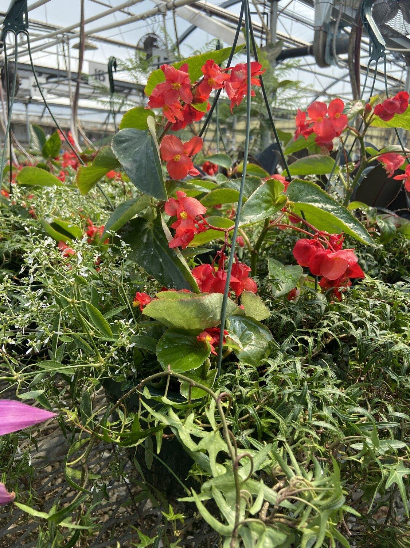 Hanging Basket, Shade: Red Dragon Wing Begonia, Sagittate Ivy, Euphorbia Glitz