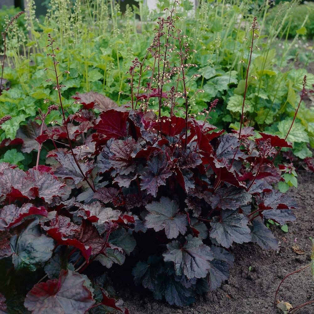 Heuchera, 'Palace Purple'