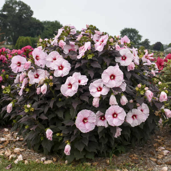 Hibiscus, Perennial, 'Dark Mystery'