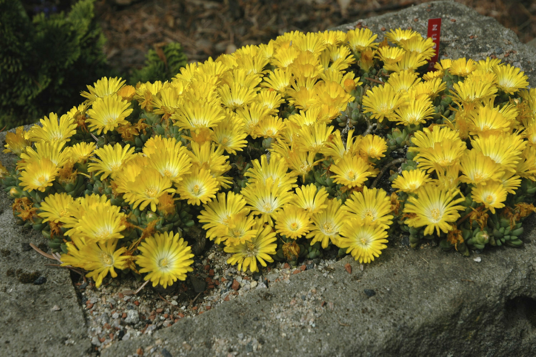 Ice Plant, Yellow