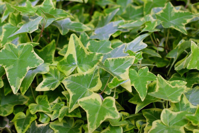 Ivy, English, Cream Edge