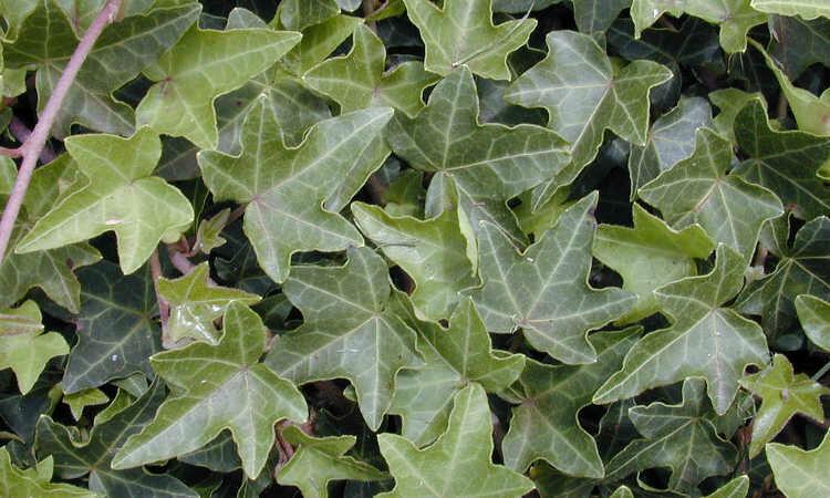 Ivy, English, Green Bold
