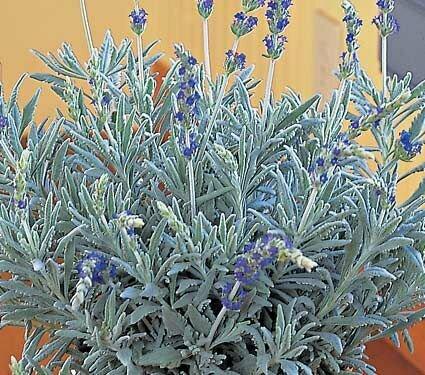Lavender, French, 'Goodwin Creek Grey'