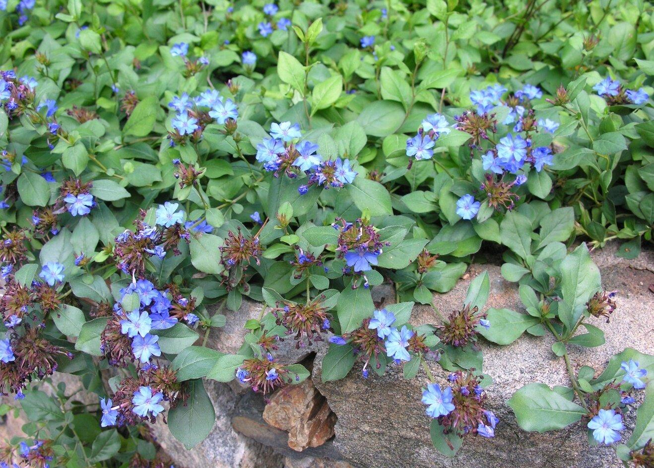 Leadwort, Blue