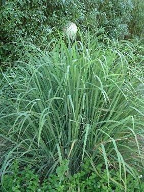 Lemongrass, West Indian