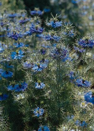 Love-in-a-Mist, Miss Jekyll Dark Blue