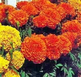 Marigold, African, 'Cortez Orange'