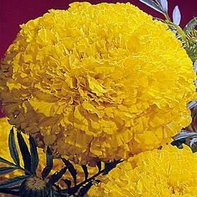 Marigold, African, 'Primrose Lady'