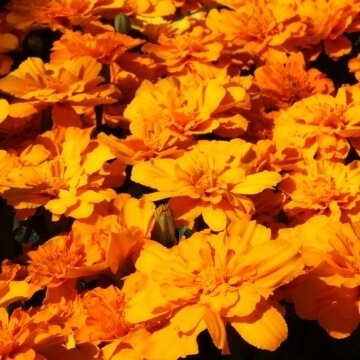 Marigold, French, 'Alumia Deep Orange'