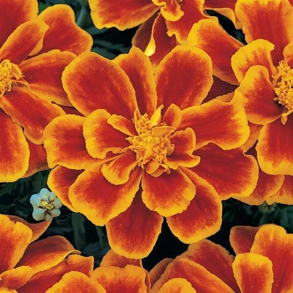 Marigold, French, 'Durango Flame'