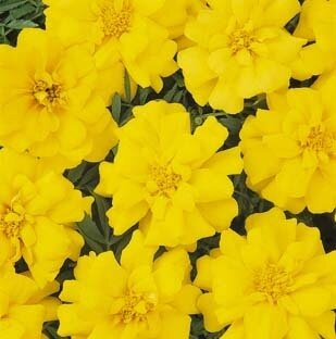 Marigold, French, 'Durango Yellow'