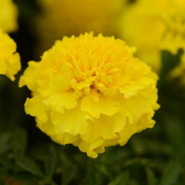 Marigold, French, Hot Pak™ Yellow