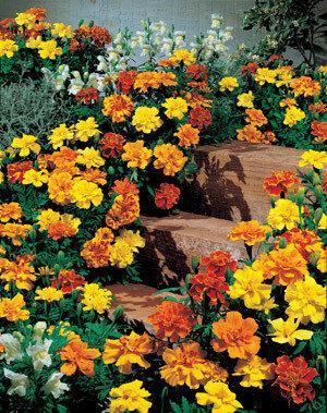 Marigold, French, 'Safari Mix'