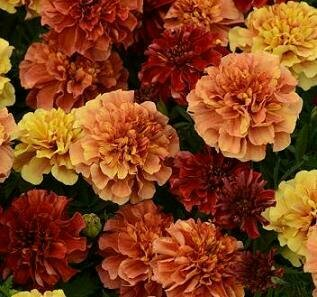 Marigold, French, 'Strawberry Blonde'