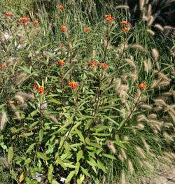 Milkweed, Tropical, 'Apollo Orange'