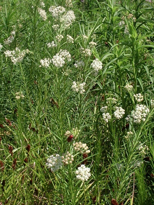 Milkweed, Whorled