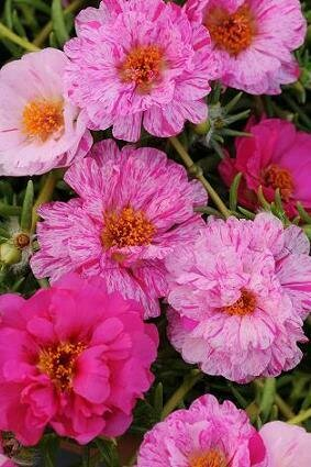 Moss Rose, Happy Trails™ Peppermint