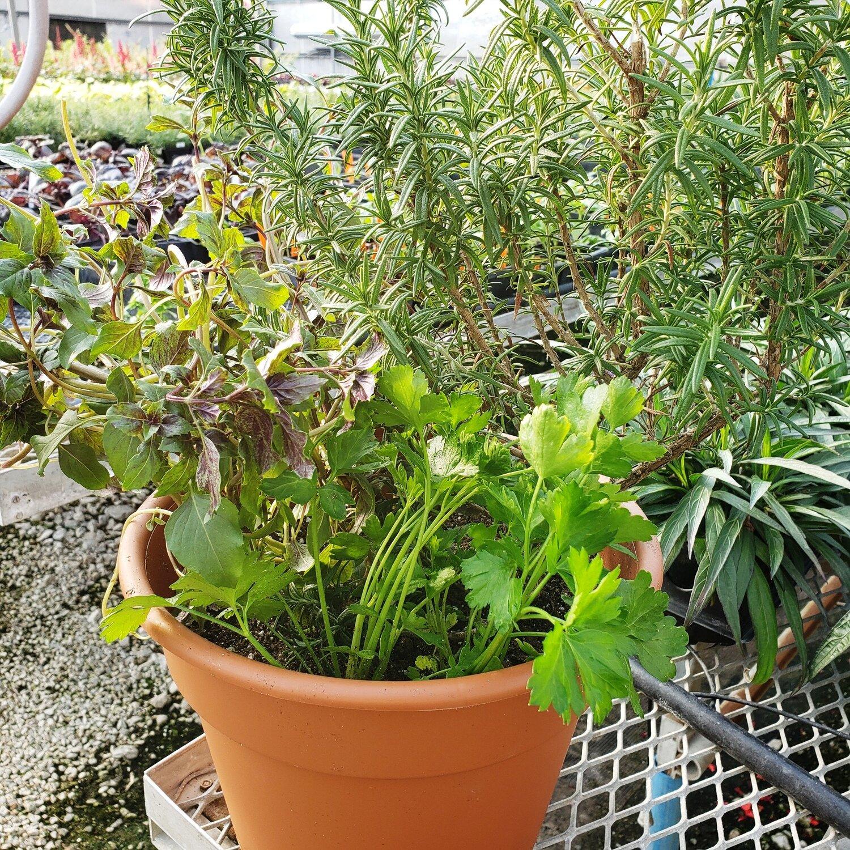 Patio Pot, Edible, Sun: Rosemary, African Blue Basil, Flatleaf Parsley