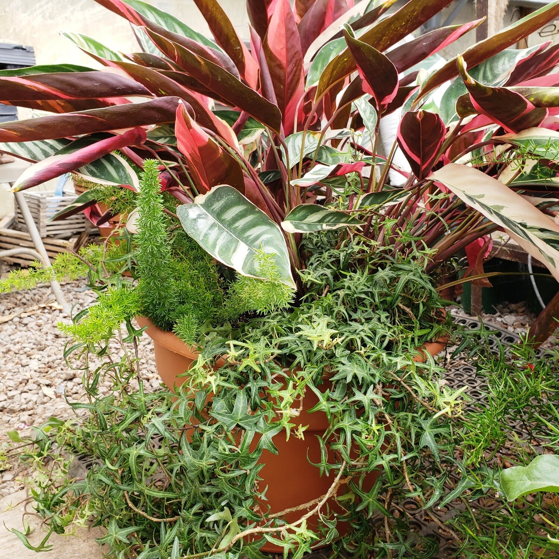 Patio Pot, Large, Shade: Calathea, Foxtail Fern, Sagittate Ivy