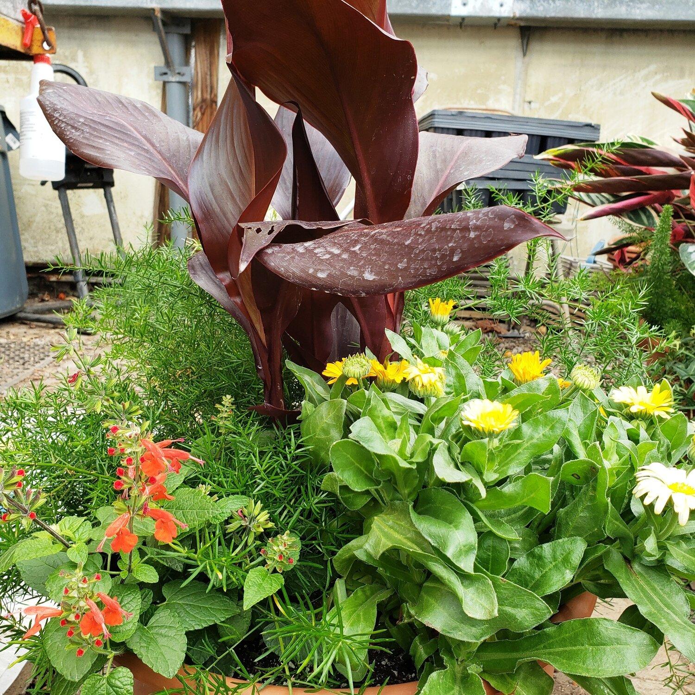 Patio Pot, Large, Shade: Red-leaf Canna, Asparagus Fern, Calendula, Red Salvia