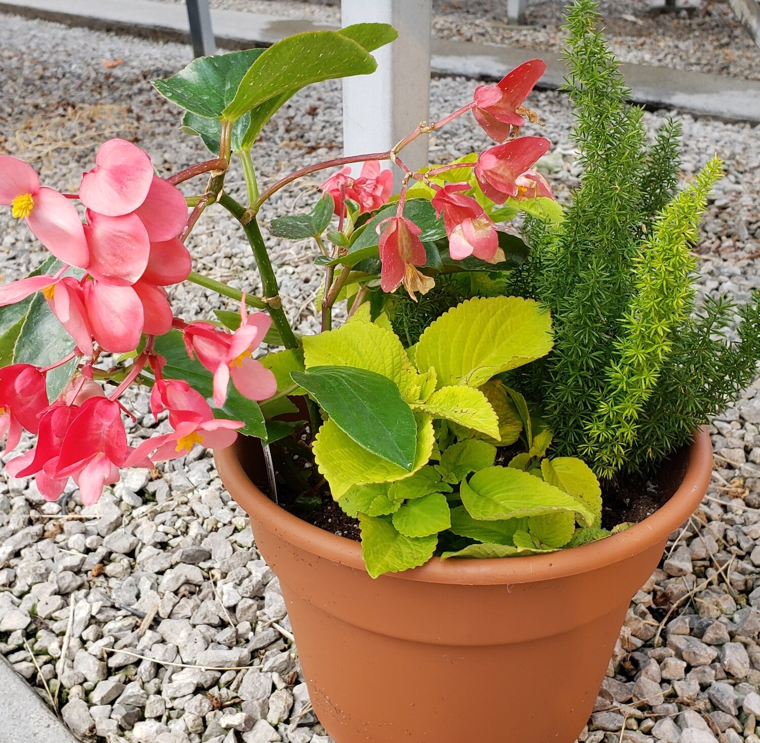 Patio Pot, Shade: Dragon Wing Pink Begonia, Lime Coleus, Foxtail Fern