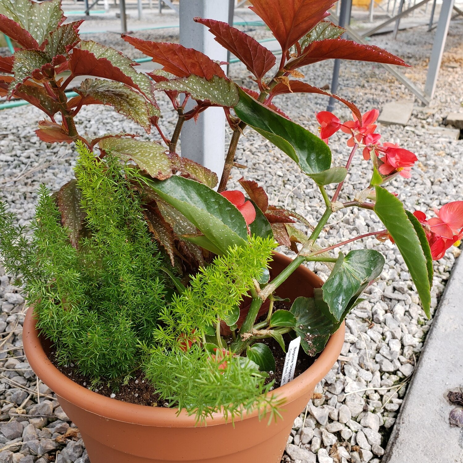Patio Pot, Shade: Foxtail Fern, Aerial & Dragon Wing Red Begonias