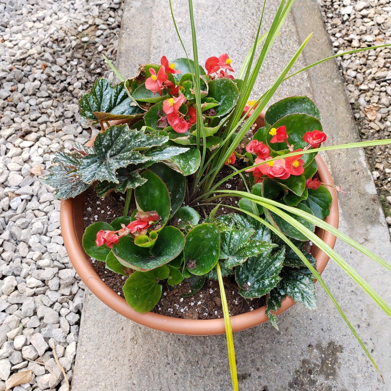 Patio Pot, Shade: Spikes, Gryphon & Red Ambassador Begonias