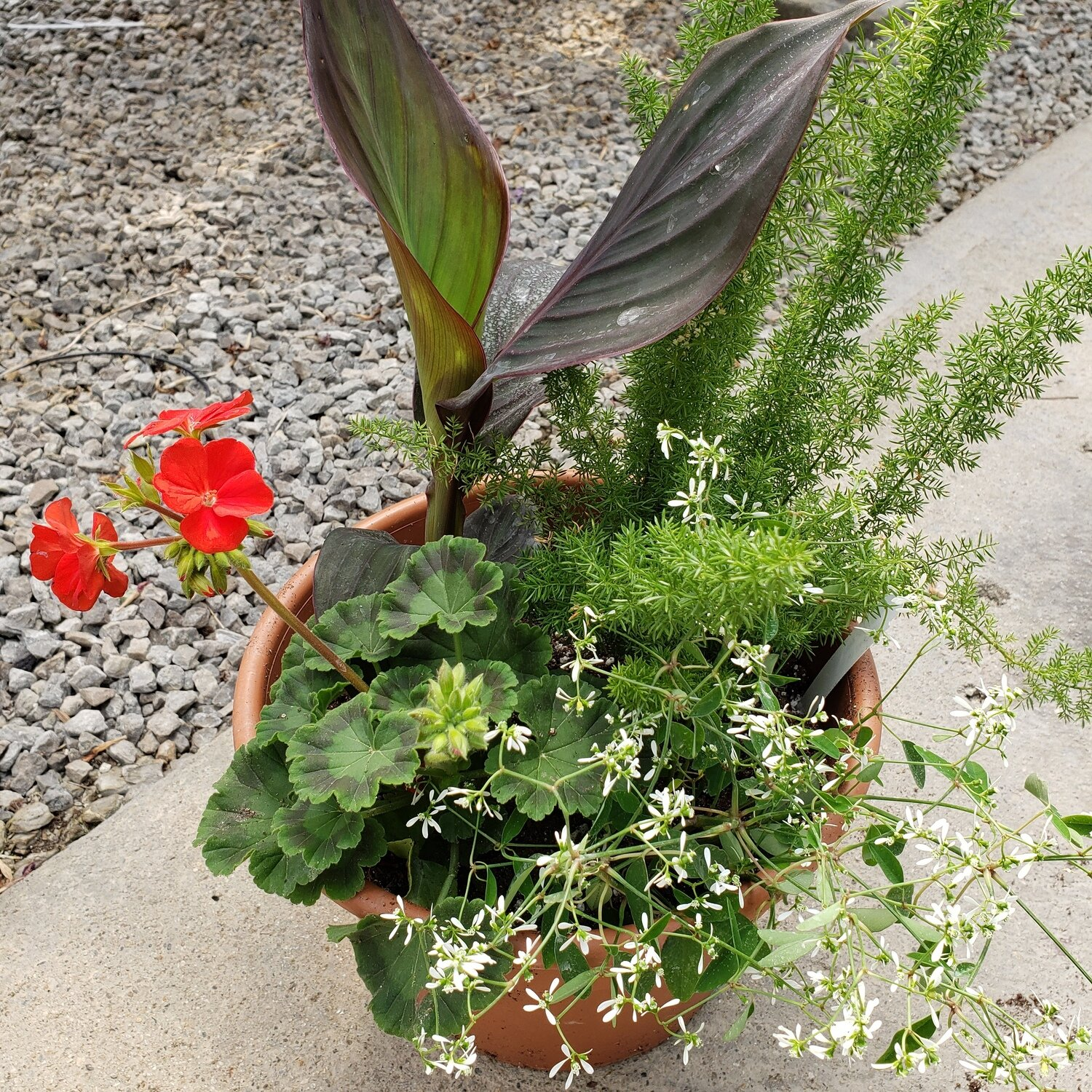 Patio Pot, Sun/Part Shade: Bronze Canna, Red Geranium, Foxtail Fern, Euphorbia Glitz