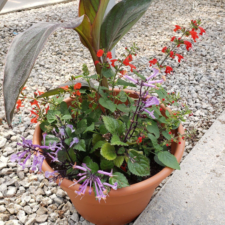 Patio Pot, Sun/Part Shade: Bronze Canna, Red Salvia, Purple Plectranthus