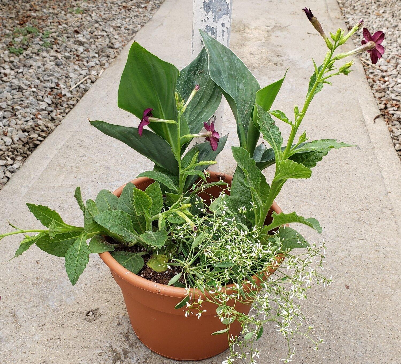 Patio Pot, Sun/Part Shade: Green Canna, Purple Tobacco, Euphorbia Glitz