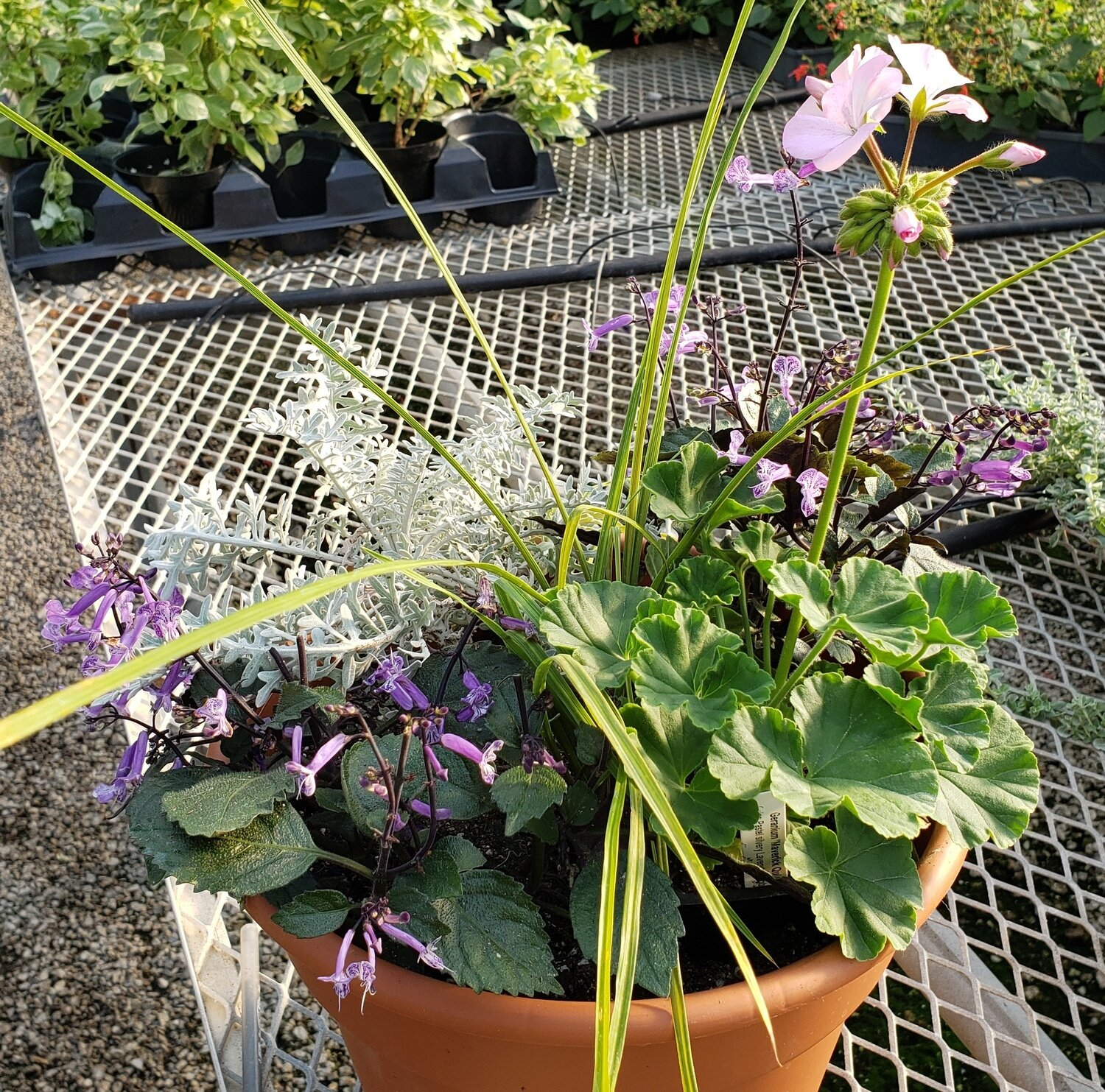 Patio Pot, Sun: Centaurea, Quicksilver Geranium, Purple Plectranthus