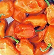 Pepper, Hot Habañero, 'Magnum Orange'