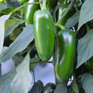 Pepper, Hot Jalapeno