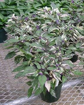 Pepper, Ornamental, 'Calico'