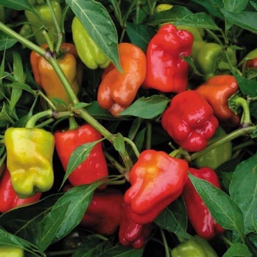 Pepper, Sweet, 'Cajun Belle'