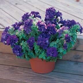 Petunia, Floribunda Double, Double Madness™ Blue