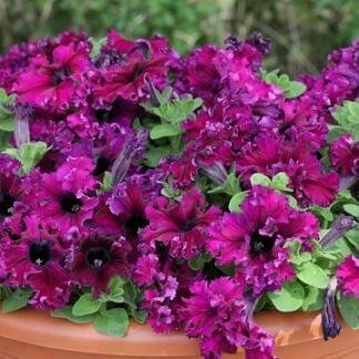 Petunia, Grandiflora Dwarf, Espresso Frappé® Ruby