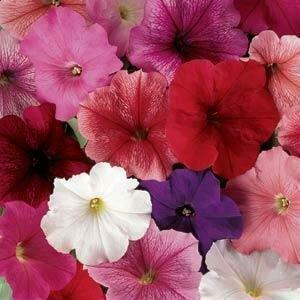 Petunia, Grandiflora, Madness® Mix
