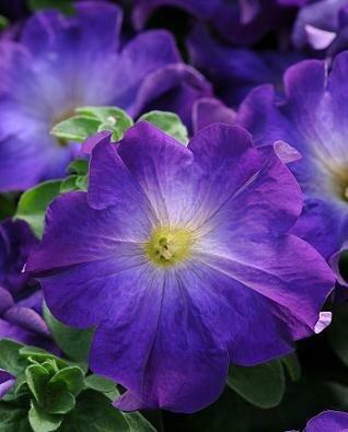 Petunia, Grandiflora, Sophistica® Blue Morn