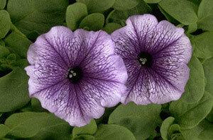 Petunia, Multiflora, 'Carpet Blue Lace'