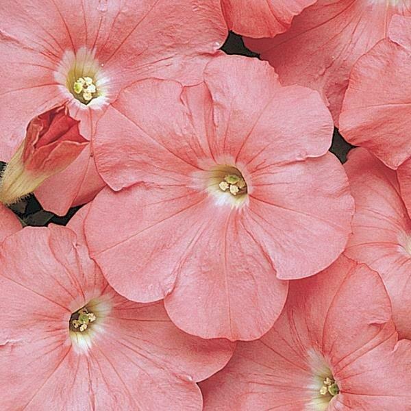 Petunia, Multiflora, 'Carpet Salmon'