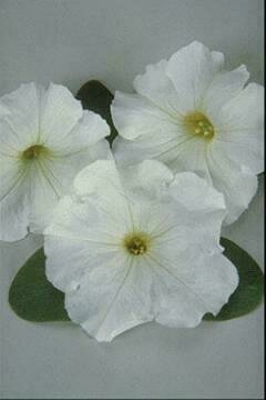 Petunia, Multiflora, 'Carpet White'