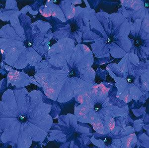 Petunia, Multiflora, 'Celebrity Blue'