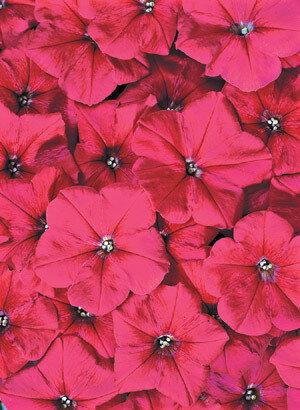 Petunia, Multiflora, 'Celebrity Rose'