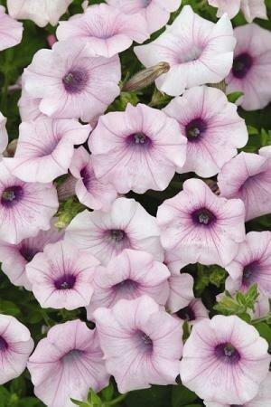 Petunia, Spreading, Shock Wave® Pink Vein